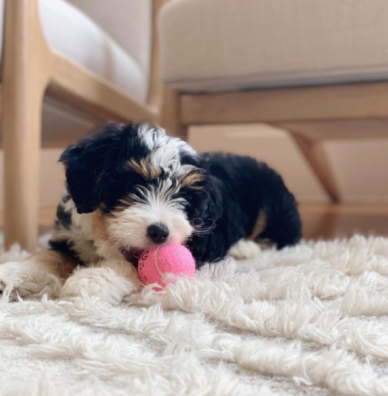 Kaila The Female F1 Standard Bernedoodle, Age: 12 Weeks Old, Price $750, Delivery Available