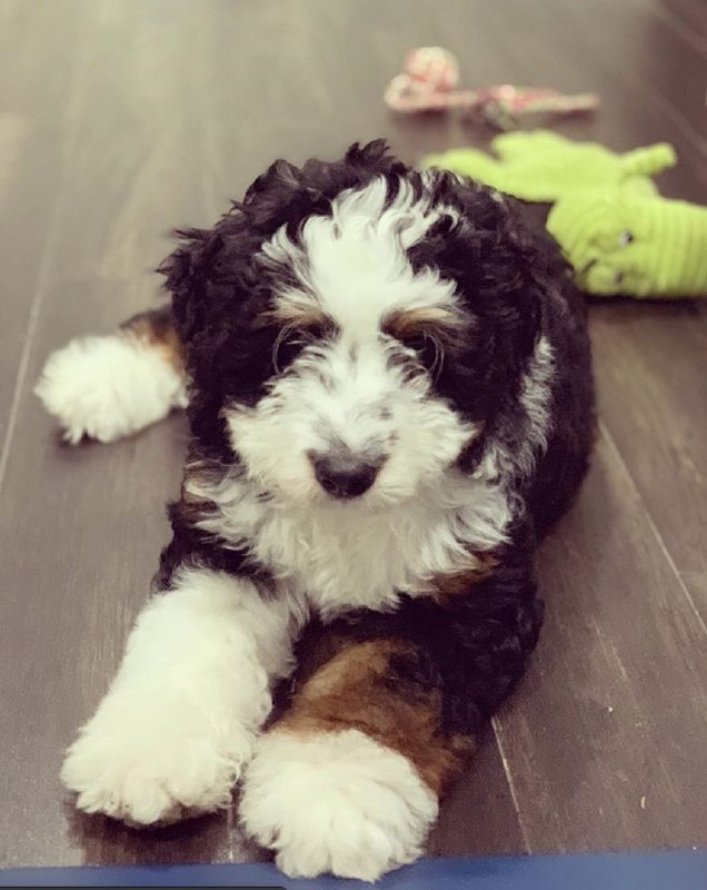 Jimmy The Male F1 Standard Bernedoodle, Age: 12 Weeks Old, Price $750, Delivery Available