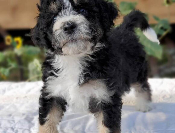 CLIF The Male F1 Mini Bernedoodle, Age: 9 Weeks Old, Price $750, Delivery Available