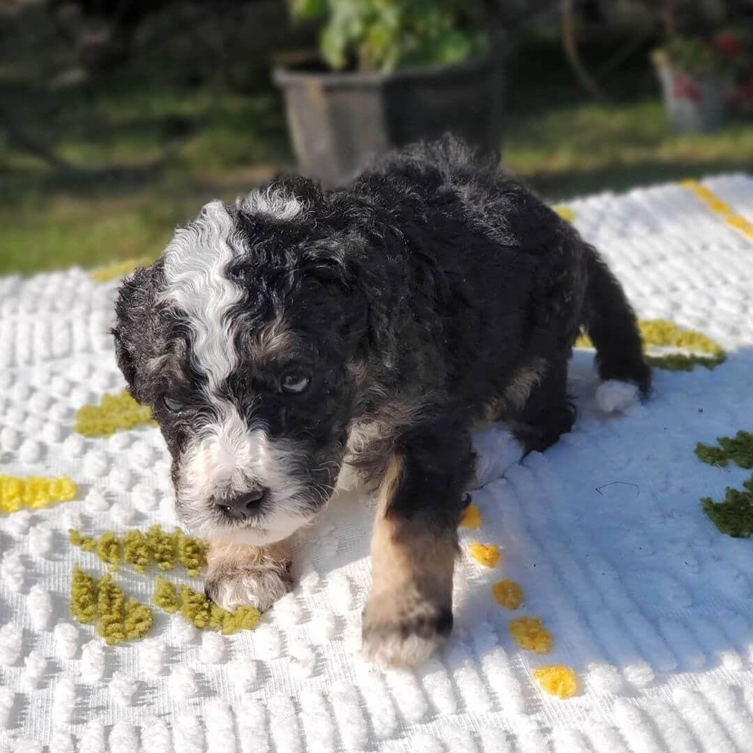 JENGA The Female F1 Mini Bernedoodle, Age: 9 Weeks Old, Price $750, Delivery Available