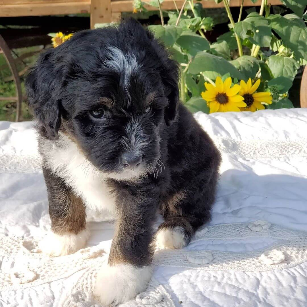 REX The Male F1 Tini Bernedoodle, Age: 9 Weeks Old, Price $750, Delivery Available