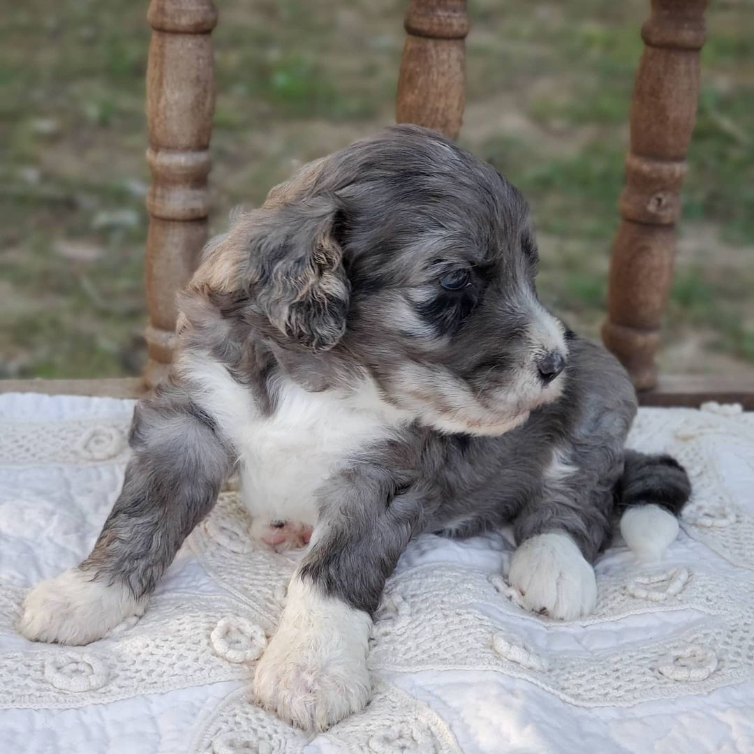 SICILY The Female F1 Tini Bernedoodle, Age: 9 Weeks Old, Price $750, Delivery Available