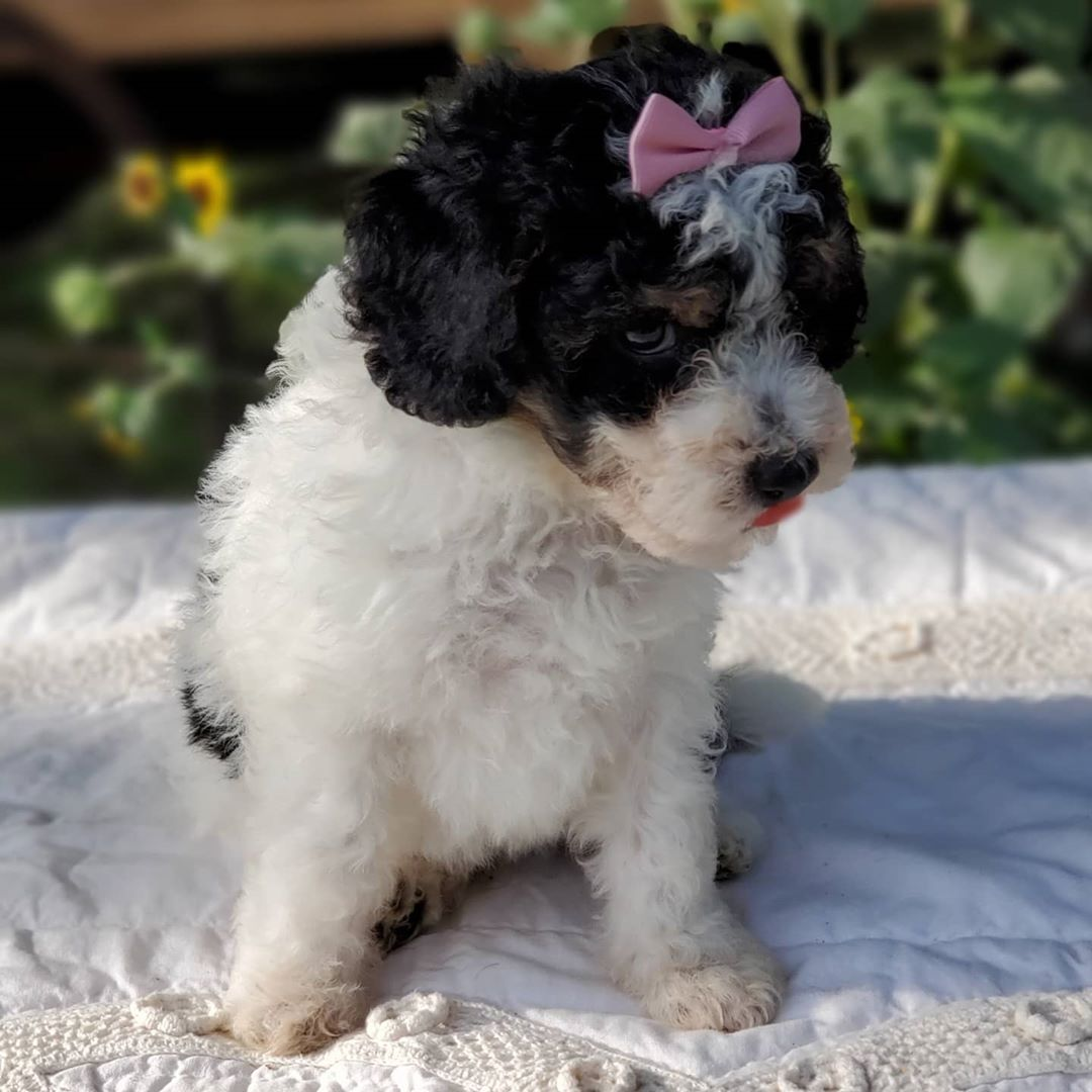 SNOP The Male F1 Tini Bernedoodle, Age: 9 Weeks Old, Price $750, Delivery Available