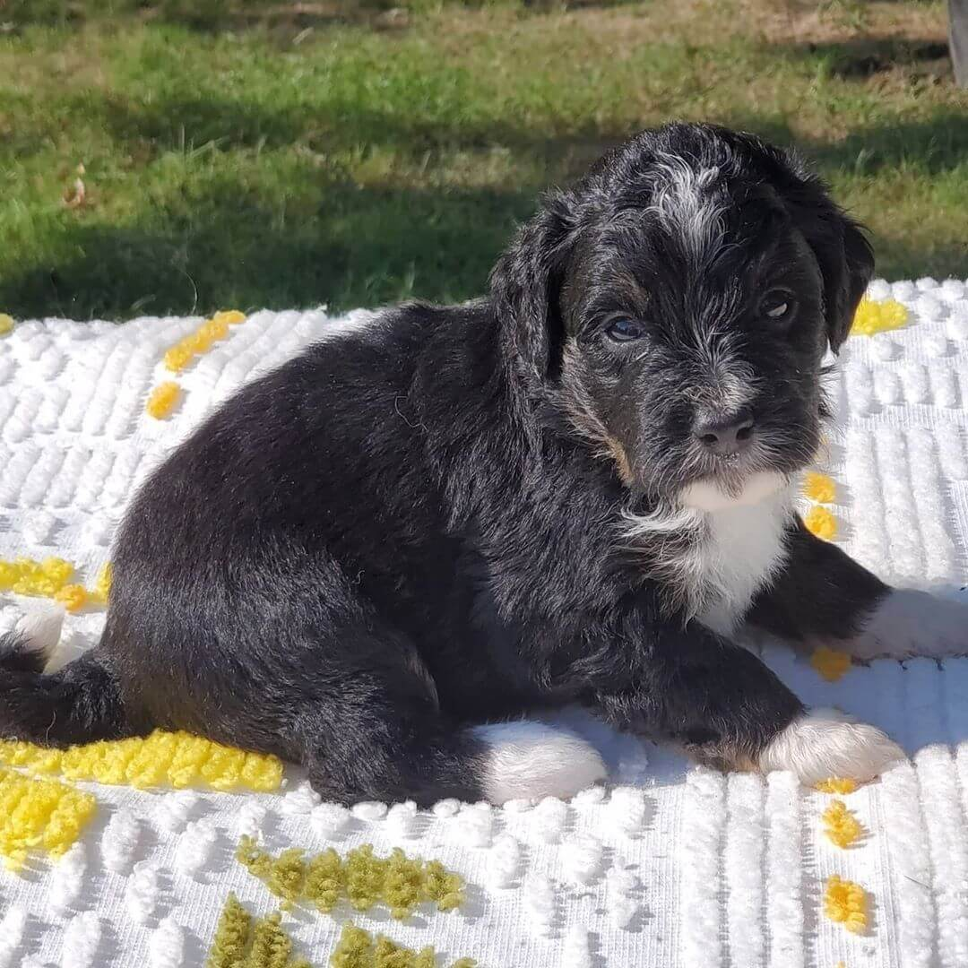 TABOO The Female F1 Tini Bernedoodle, Age: 9 Weeks Old, Price $750, Delivery Available