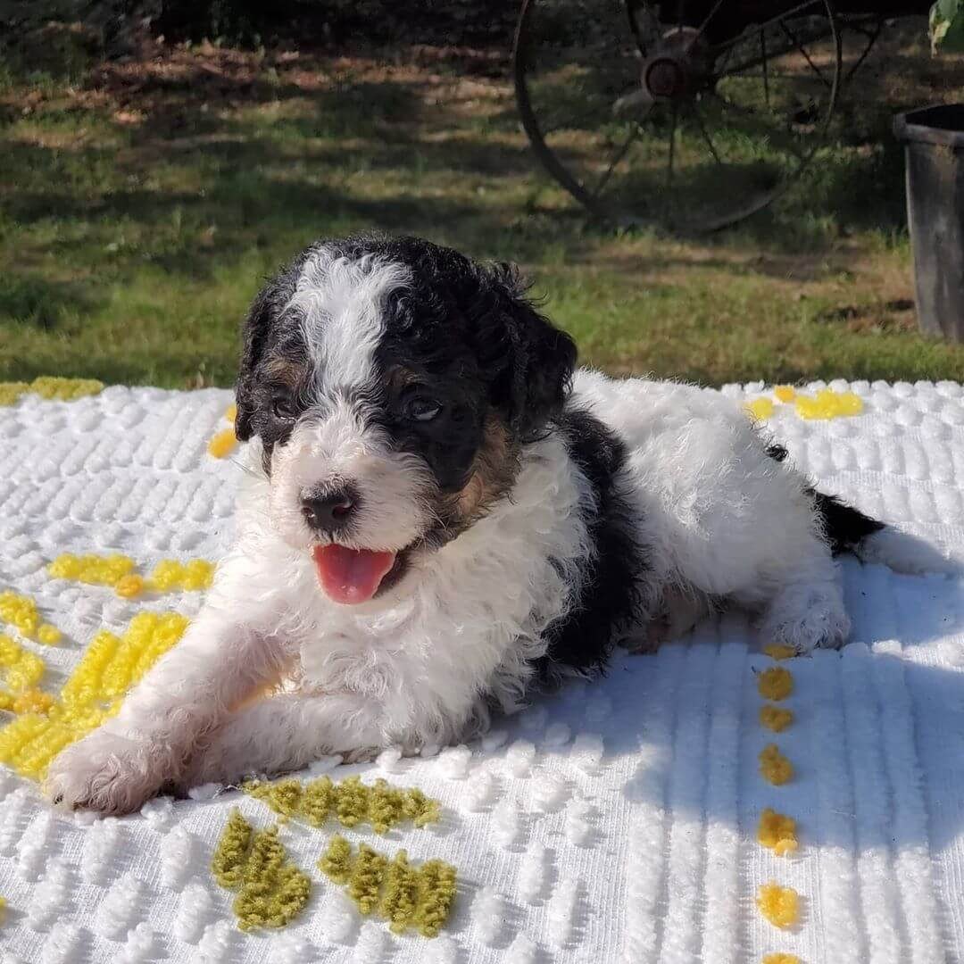 UNO The Male F1 Teddy Bear Bernedoodle, Age: 9 Weeks Old, Price $750, Delivery Available