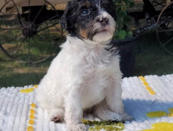 PUZZLE  The Female F1 Standard Bernedoodle, Age: 9 Weeks Old, Price $750, Delivery Available